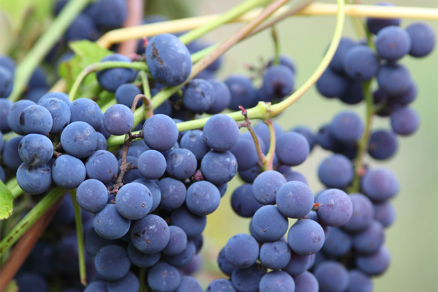 Close up of Mourvedre grapes