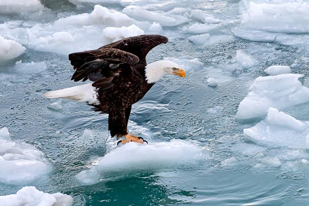 American Bald Eagle in Alaskan Waters