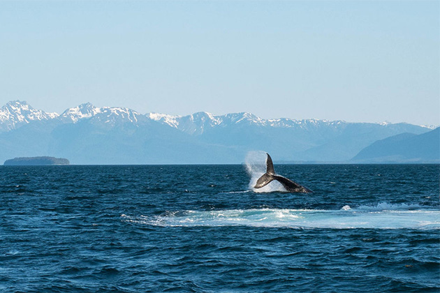 Whale watching in Juneau, Alaska from Holland America's Noordam