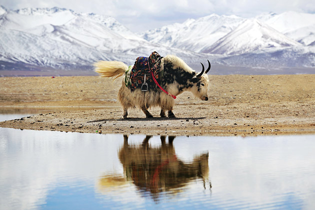 Yak in front of snow covered mountains and lake in Tibet