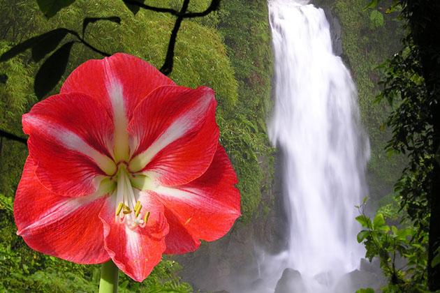 The Trafalgar waterfall of the caribbean island Dominica and amaryllis flower
