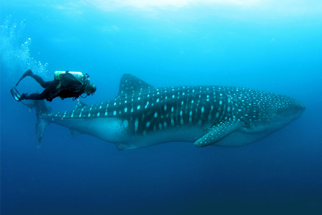 Man swimming with whale shark