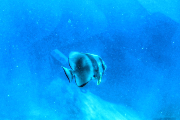 Photo of a fish taken from Crystal Cruises' mini-sub