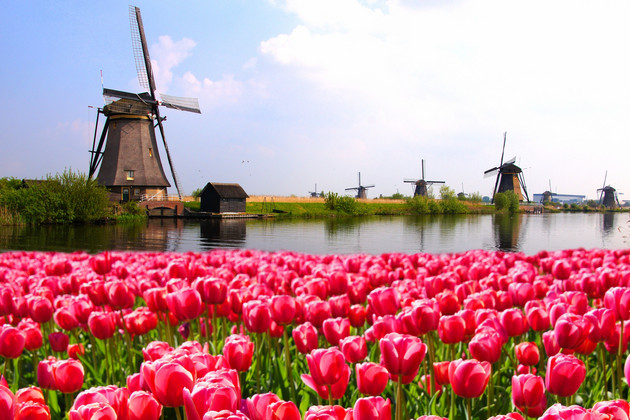Vibrant pink tulips with Dutch windmills along a Netherlands canal