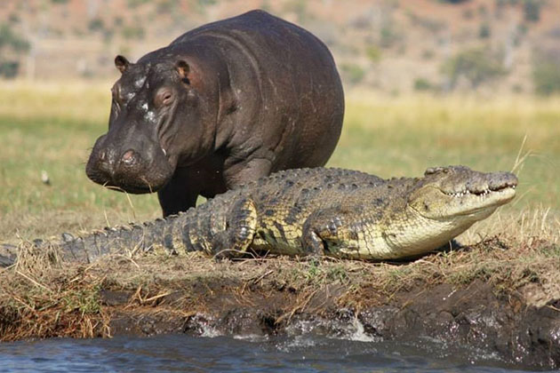 Hippo and Alligator on the Chobe River