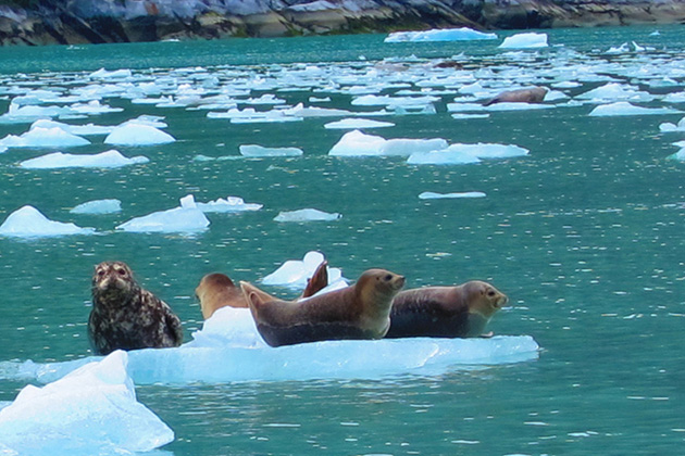 Seals on an Ice Floe