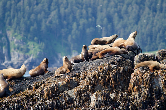 Sea lions resting on a rock in Kenai Fjords National Park