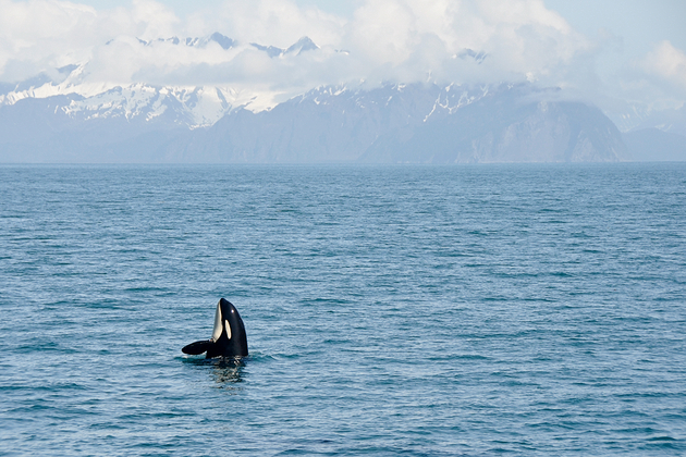 Orca Whales in Resurrection Bay, Alaska Kenai Fjord National park