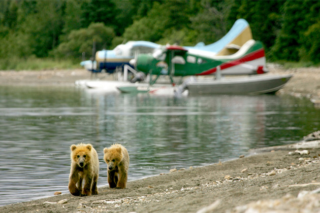 Two bear cubs walking along a lake shoreline in Alaska with float planes in the background