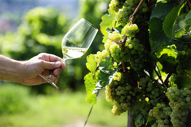 Glass of white Wine (Riesling) and riesling grapes in a vineyard