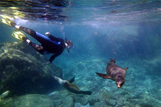 UnCruise passenger swimmin with sea lions