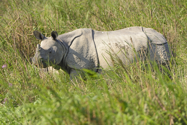 Indian Rhino in the Grasslands of Kaziranga National Park in India