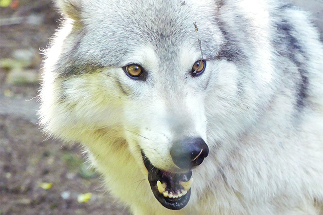 Close-up shot of a wolf at a wildlife refuge in Alaska