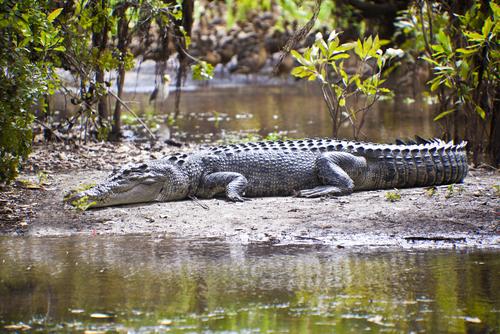 Crocodile in the Northern Territory, Australia