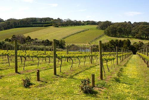 Vineyard in Mornington Peninsula, Australia