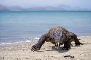 Komodo Dragon - photo courtesy of Richard Susanto/Shutterstock