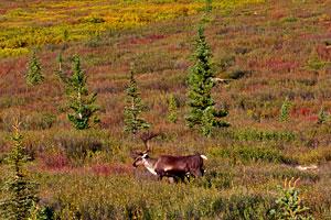 Alaska-Cruisetour-Denali-Caribou