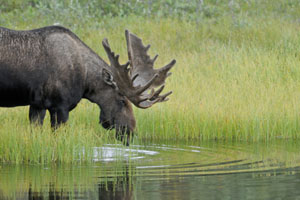alaska-expedition-cruise-moose