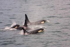 Safari Explorer Alaska Whales
