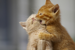 Two orange kittens playing with each other
