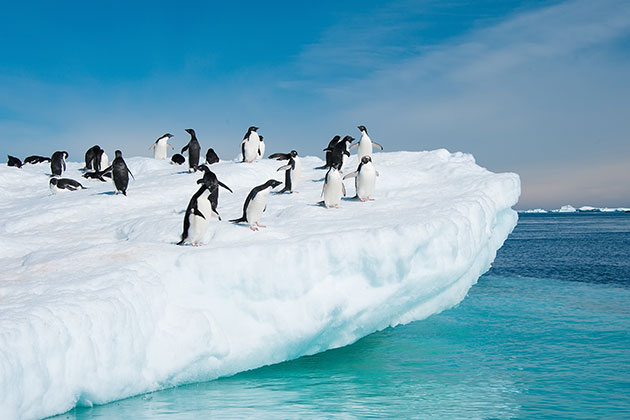 Adelie penguins in Antarctica.