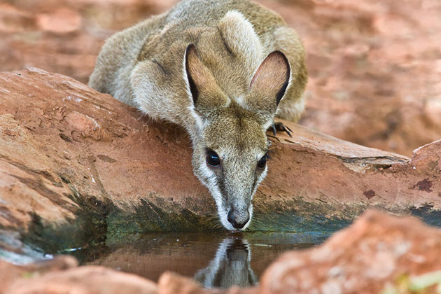 Female wallaby having drinking from a rock pool.
