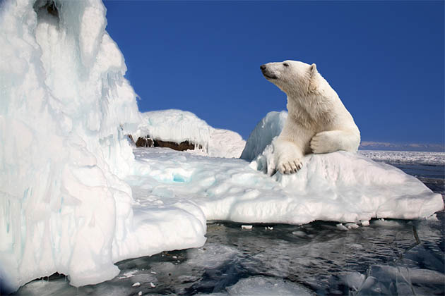 A polar bear in the Arctic.