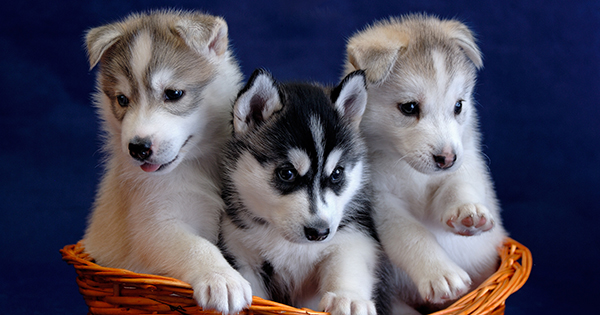 Princess To Welcome Sled Dog Puppies On Its Alaska Cruises Debut New Activities