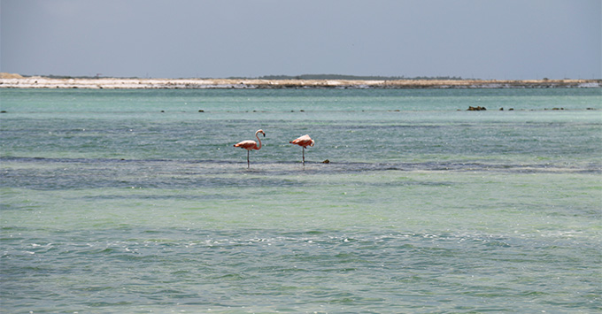 Two flamingos standing in the salt flats of bonaire