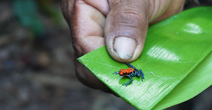 Close-up shot of a tiny poison dart frog on a leaf in the jungle
