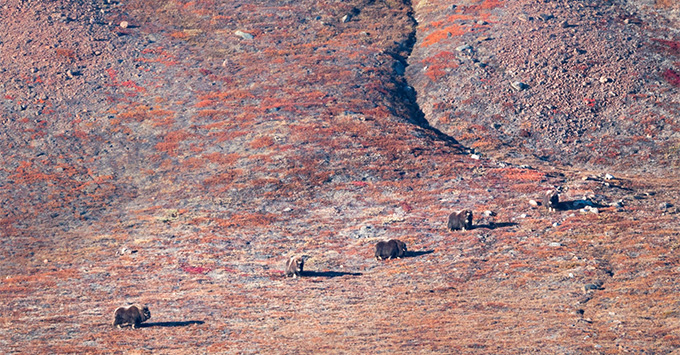 Group of musk ox in the distance, on a barren Greenland lanscape