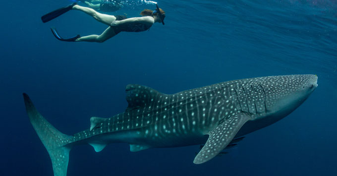 Louise Goldsbury, Cruise Critic Australia Editor swimming with a whale shark