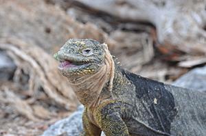 La Pinta - Land Iguana