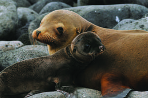 Silver Galapagos - Sea Lions Photo courtesy of Silversea Cruises.