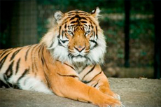 Bangkok (Laem Chabang) Tiger Zoo cruise excursion