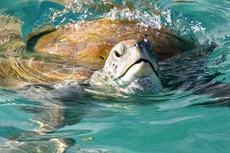 Barbados Turtle Swim cruise excursion