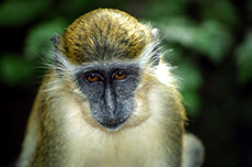 Barbados Monkey Encounter cruise excursion