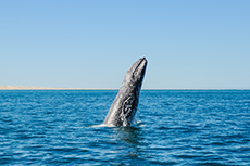 Cabo San Lucas Whale Watching cruise excursion