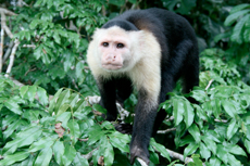 Colon (Cristobal) Monkey Watch