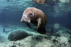 Cozumel Manatee Swim Encounter