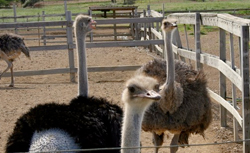 Curacao Ostrich Farm cruise excursion