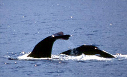 Dominica Whale & Dolphin Watching cruise excursion
