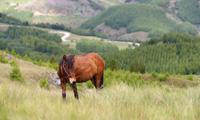 Lima Peruvian Horses
