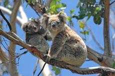 Melbourne Kangaroos & Koalas