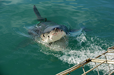 Nassau Shark Dive cruise excursion
