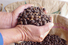 Puerto Limon Coffee Bean tour