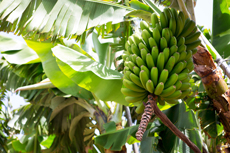 Puerto Limon Banana Plantation