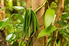 Raiatea Vanilla Plantation