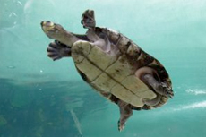 St. Thomas Turtle Swim cruise excursion