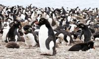 Stanley Rockhopper Penguin Colony